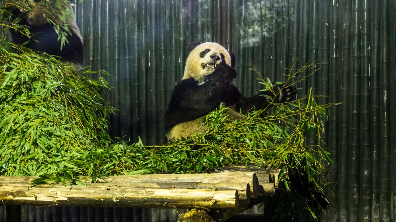 Gdzie zobaczyc pandy?