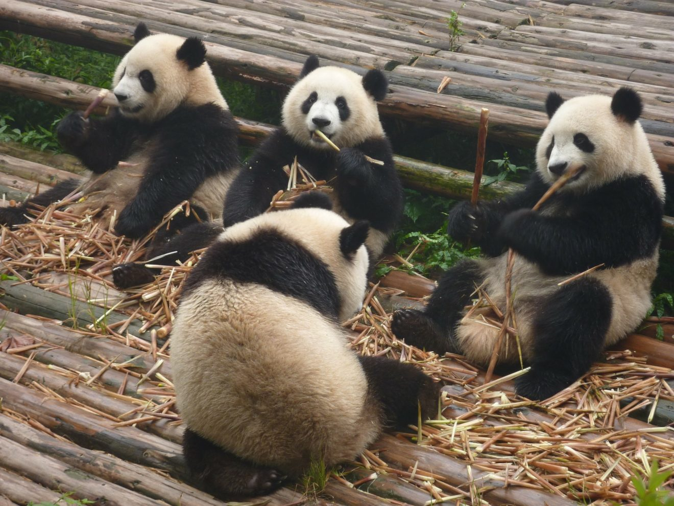 Great pandas in China