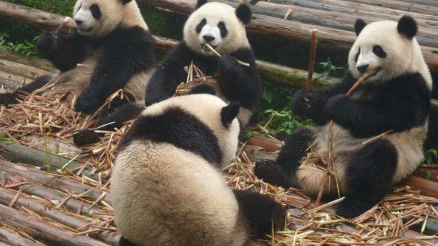 Great pandas in China