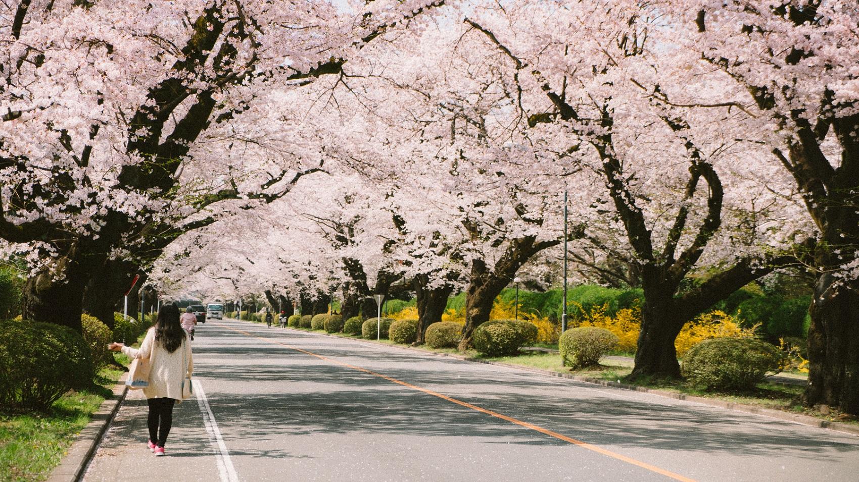 Japonia w kwietniu - kiedy kwitnące wiśnie