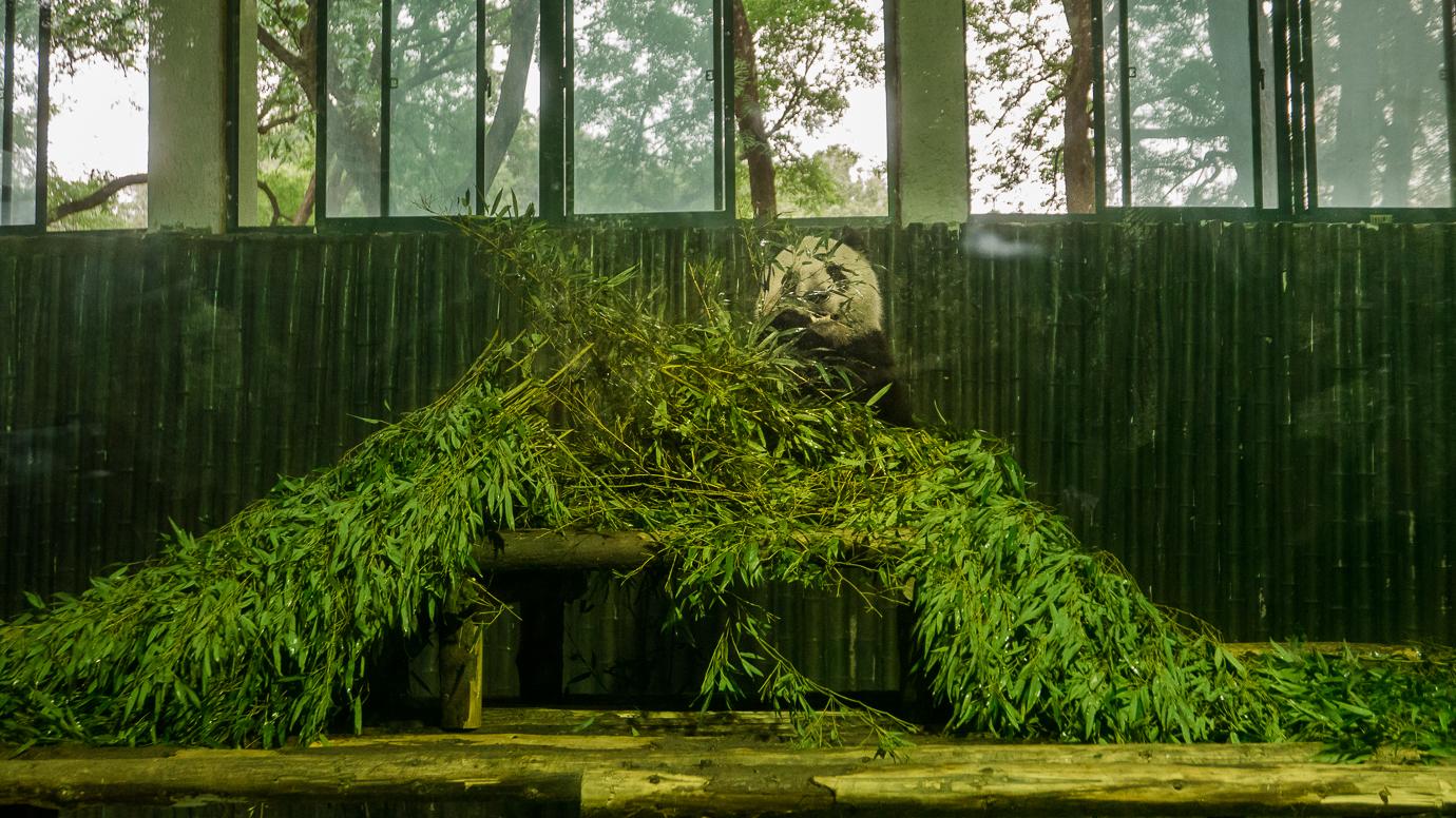 Panda je bambus