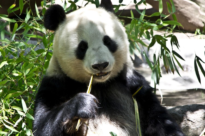 Gdzie zobaczyć pandy?