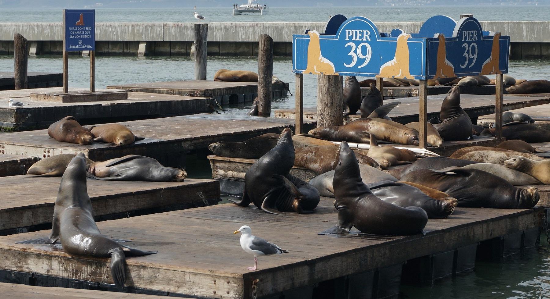 Foki na Pier 39
