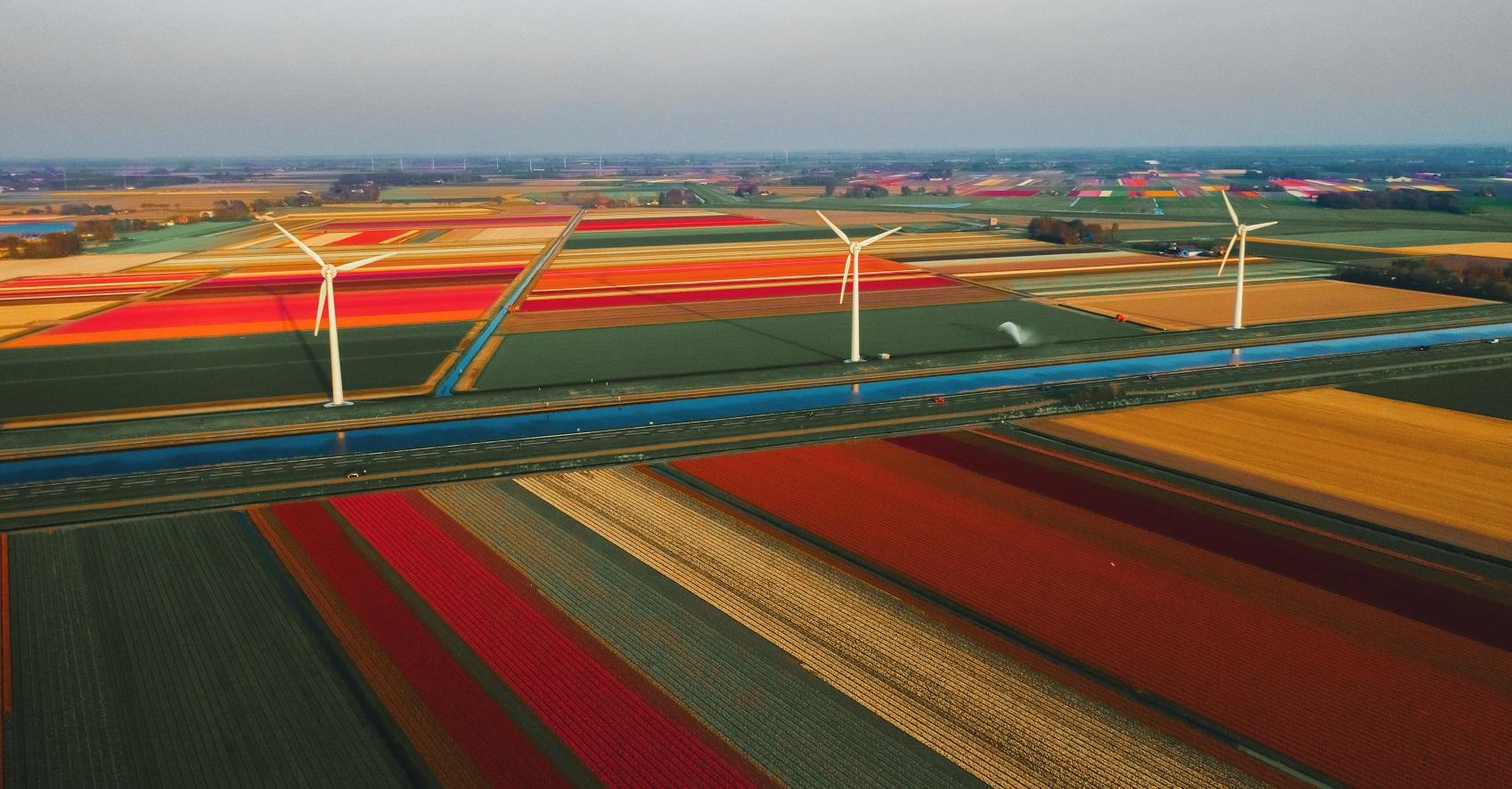 Tulipany Holandia w maju
